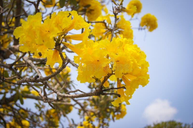Det guld- trädet med guling blommar cochlospermumregium arkivfoton
