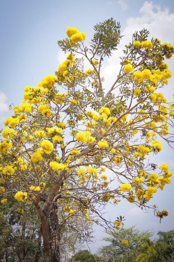 Det guld- trädet med guling blommar cochlospermumregium royaltyfri fotografi