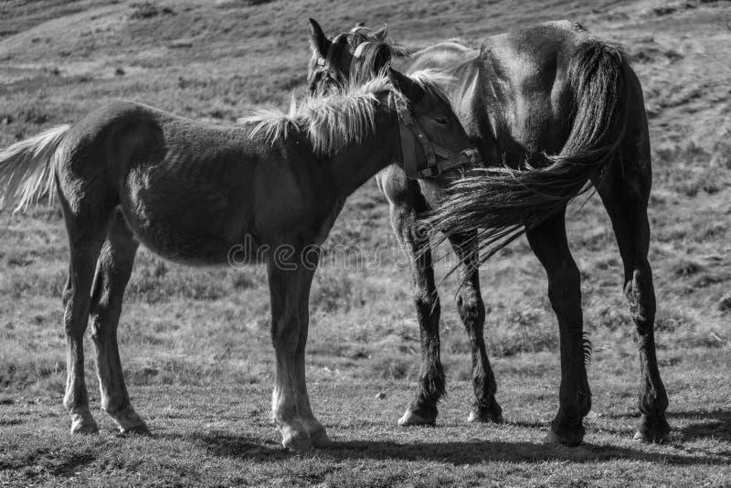 Det gulliga fölet med stoen betar in svartvitt Två hästar i fältmonokrom Lantligt ranchliv royaltyfri bild