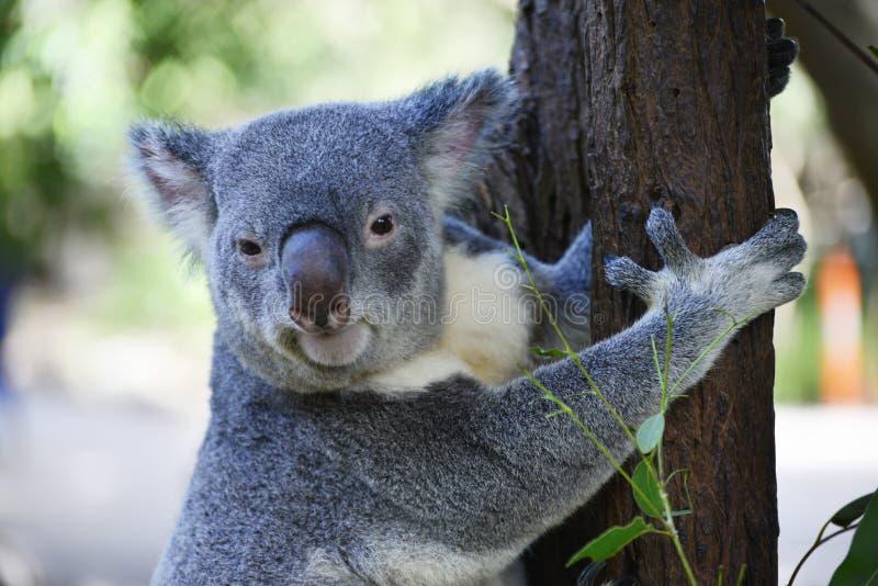 Det gulliga koalaslutet sitter upp på en trädfilial royaltyfria foton