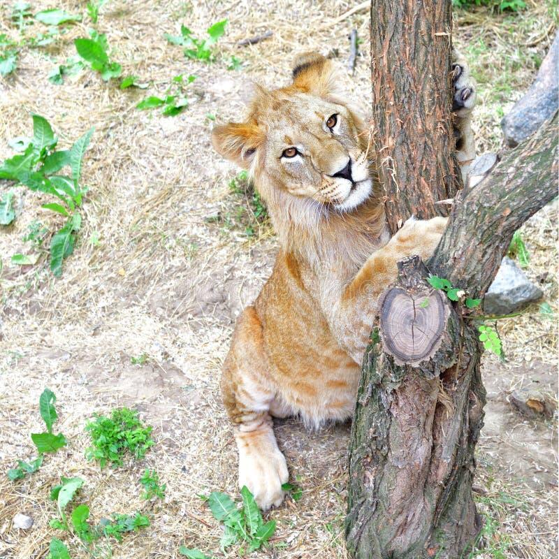 Det gulliga lejonet vässar jordluckrare royaltyfria bilder