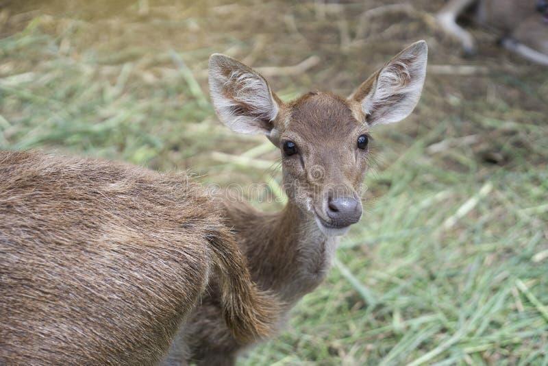 Det gulliga skottet av en hjortunge såg kameran, och leendet, hjort ler, tillfogad ljus effekt, selektiv fokus royaltyfri fotografi