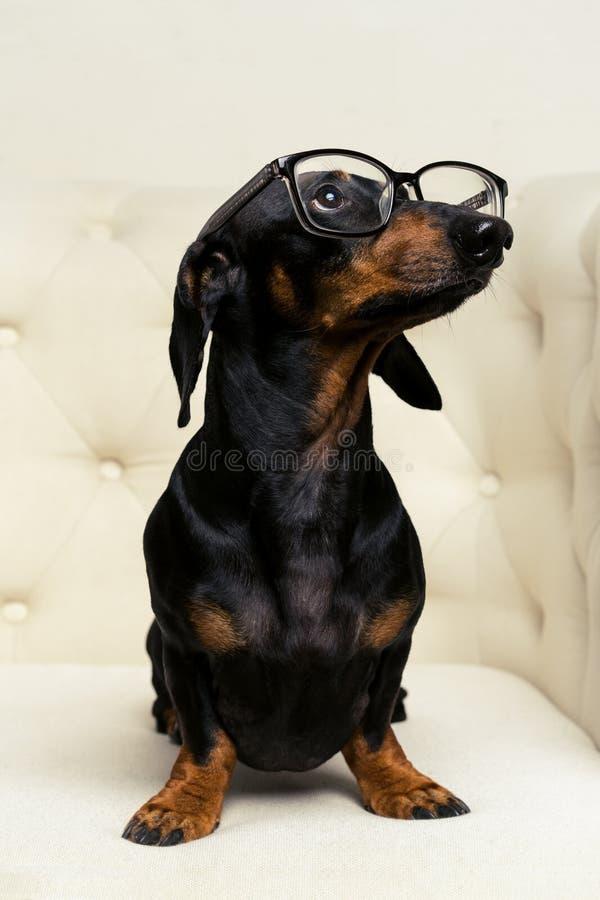 Det gulliga slutet upp hundtaxaveln, svart och solbränt, med svarta exponeringsglas i hans ögon sitter hellångt i en vit fåtölj o arkivbild