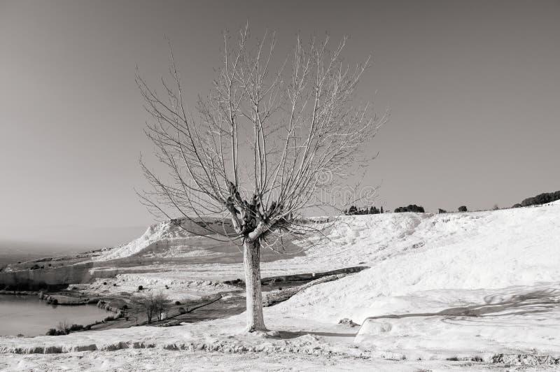 Det härliga döda trädet och landskapet av Travertinetips terrasserar I royaltyfri foto