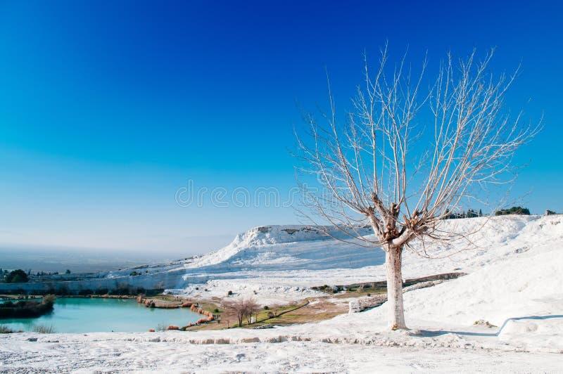 Det härliga döda trädet och landskapet av Travertinetips terrasserar I arkivfoton