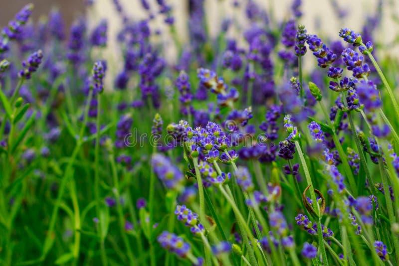 Det härliga fältet av lavendel blommar nära mitt hus var du kan gå och tycka om dess angenäma lukt arkivfoton