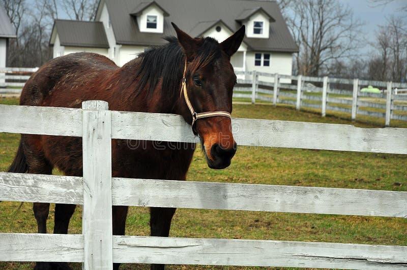 Det härliga hästanseendet vid ett staket på en Amish returnerar i Ohio royaltyfri fotografi