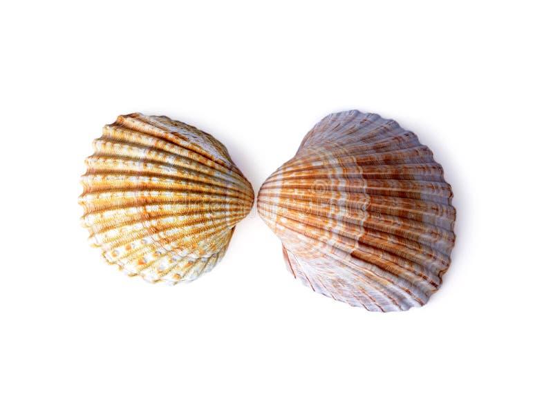 det härliga isolerade havet shells white royaltyfri fotografi