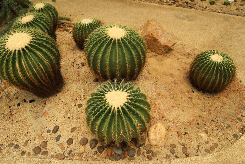 Det härliga kaktusträdet i det utomhus- arbeta i trädgården och parkerar royaltyfria bilder