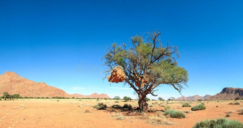 Det härliga landskapet med det stora trädet och fåglar bygga bo i öken arkivfoto