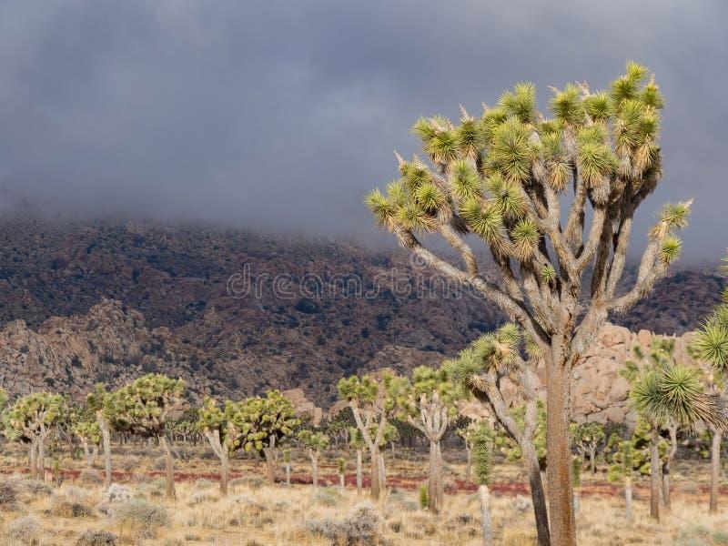 Det härliga landskapet med det Joshua trädet, berg, vaggar arkivbild