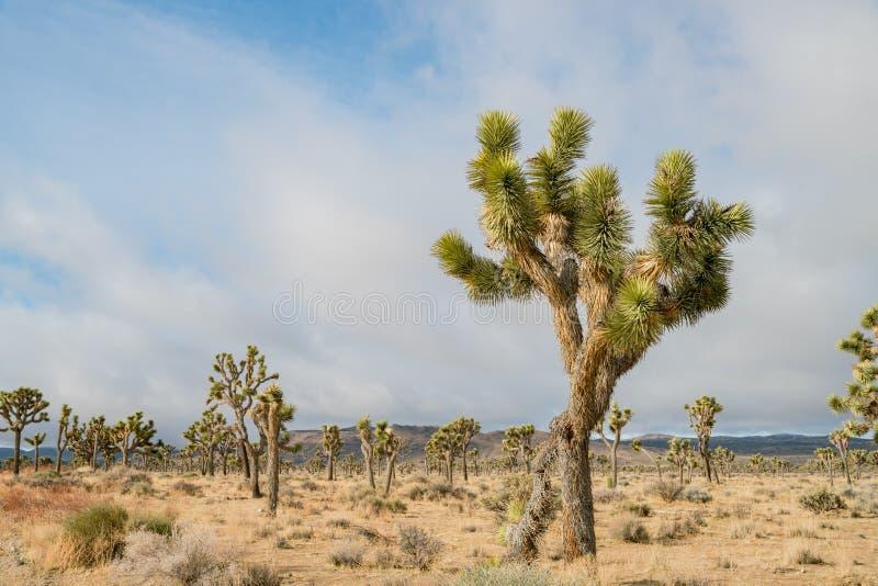 Det härliga landskapet med det Joshua trädet, berg, vaggar arkivfoto