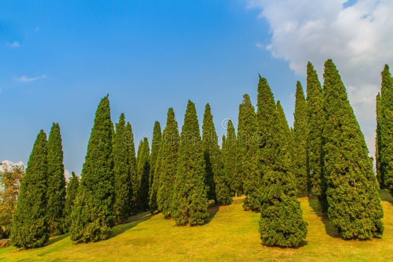 Det härliga lilla kullelandskapet med högväxt sörjer träd på fält för grönt gräs och vit molnbakgrund för blå himmel Chinensis Ju arkivfoton