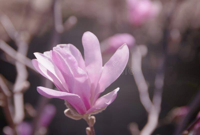 Det härliga magnoliaträdet blomstrar liten vid mjukt ljus arkivbilder