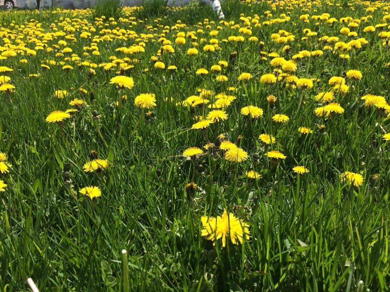 det härliga maskrosfältet blommar fjädern royaltyfria foton