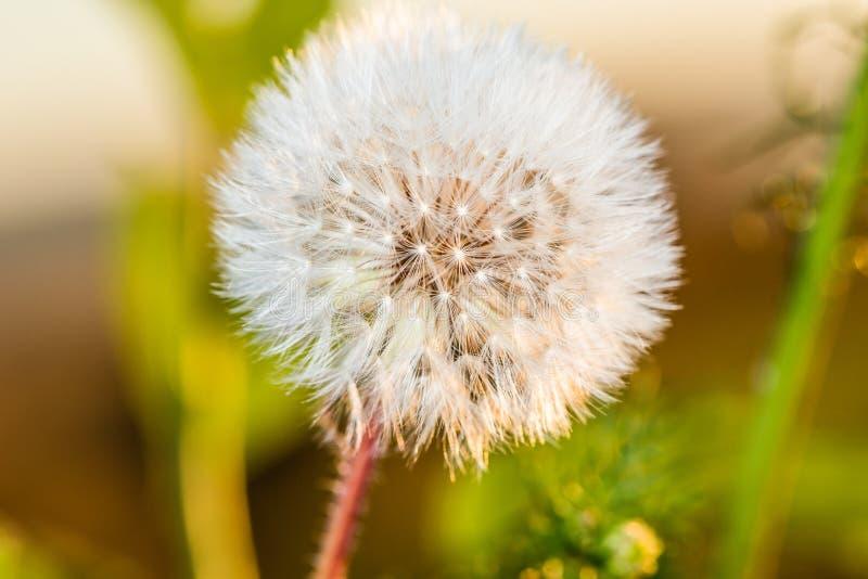 Download Det Härliga Maskrosfältet Blommar Fjädern Arkivfoto - Bild av växter, green: 76700976