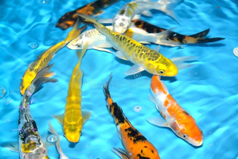 Det härliga och färgglade fiskinfallet kverulerar i det plast- dammet royaltyfri bild