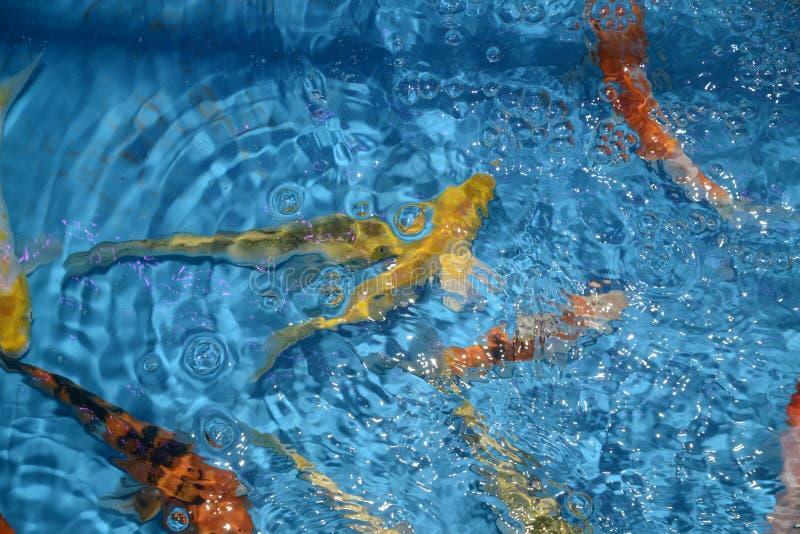 Det härliga och färgglade fiskinfallet kverulerar i det plast- dammet arkivfoton