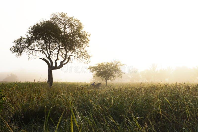Det härliga risfältfältet i morgonrisen brukar i Thailand arkivbilder