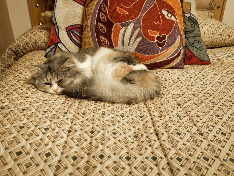 Det härliga skottet av en gullig vit behandla som ett barn katten som sover på en säng arkivfoton