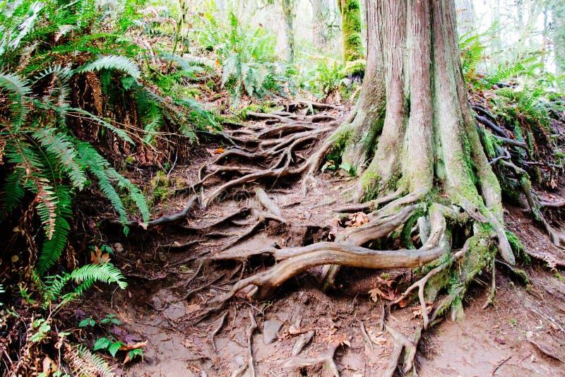 Det härliga trädet i en skog med synligt rotar att komma ut ur jordningen arkivfoto