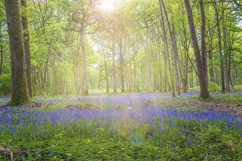 Det härliga vårlandskapet med matta av den blåa hyacinten blommar royaltyfria bilder