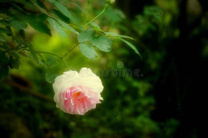 Download Det Härligt Steg Med Droppe Av Vatten Fotografering för Bildbyråer - Bild av blom, park: 37345335