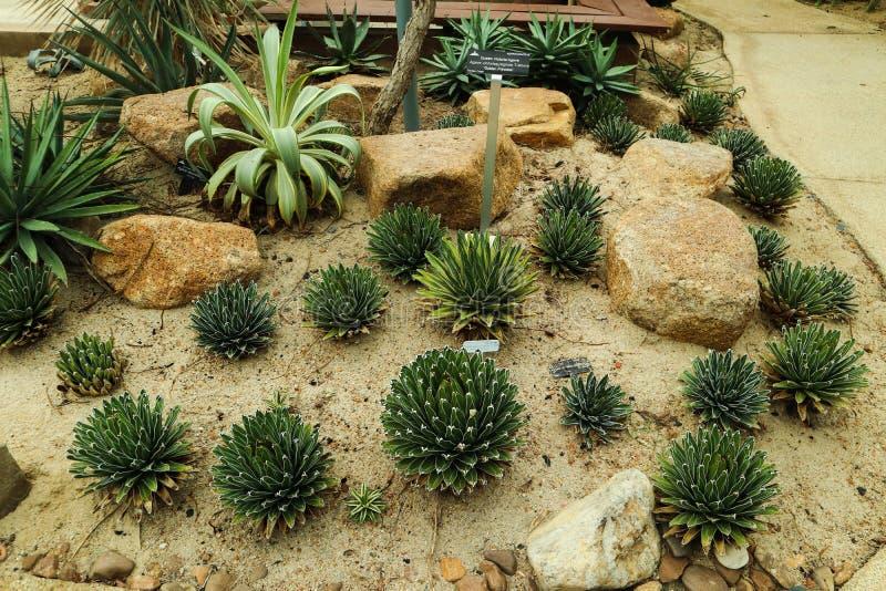 Det h?rliga kaktustr?det i det utomhus- arbeta i tr?dg?rden och parkerar royaltyfri bild