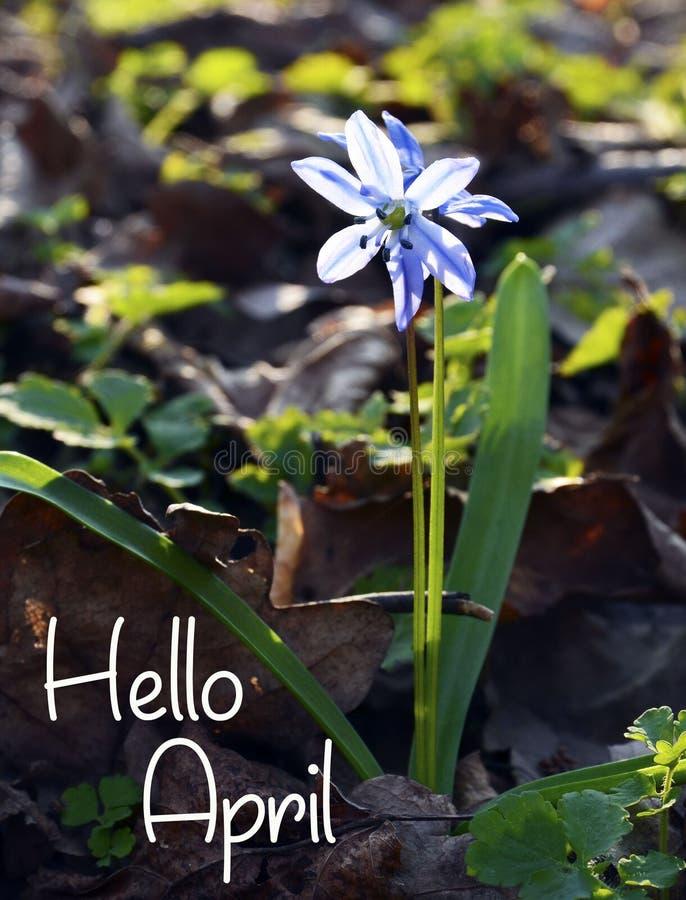Det Hello April hälsningkortet med blått fjädrar först blomman Blå Scilla blommaScilla siberica, Squill i skogen arkivfoton
