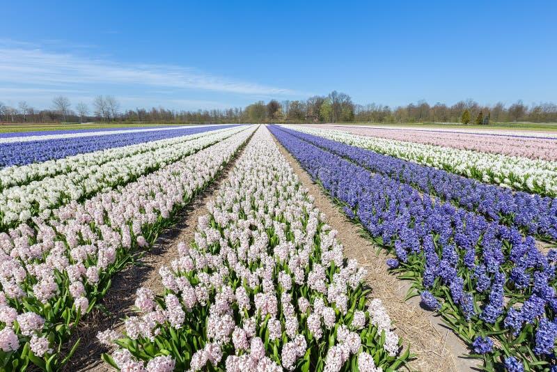 Det holländska landskapet med rader av den blommande hyacinten blommar royaltyfria bilder