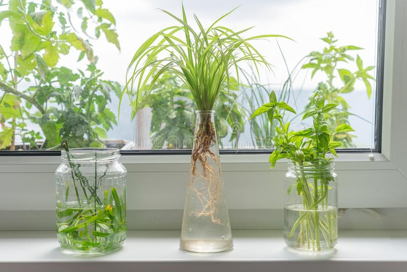 Det inomhus fönstret som planterar att rota i den fintrådiga glasflaskan, rotar för att växa arkivbilder