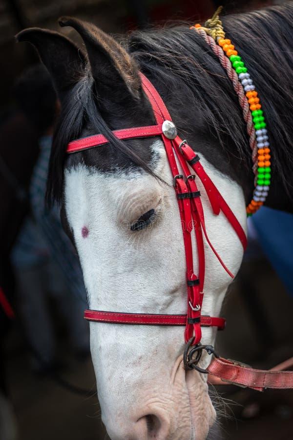 Det isolerade hästhuvudet med den röda tråden begränsar arkivbilder