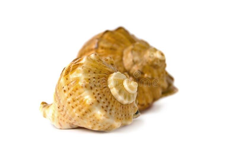 det isolerade havet shells white arkivfoton