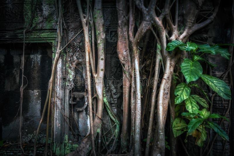 Det jätte- banyanträdet rotar på templet för Ta Prohm Angkor Wat, Cambodja royaltyfri bild