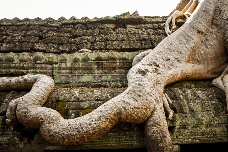 Det jätte- banyanträdet som växer på, fördärvar av templet Ta Prohm i Angkor Wat Cambodia arkivfoto