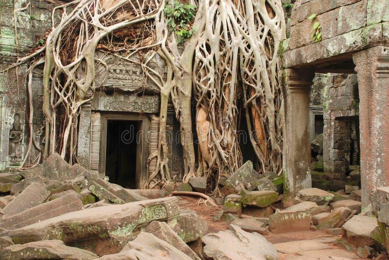 Det jätte- trädet rotar, templet för Ta Prohm royaltyfria bilder