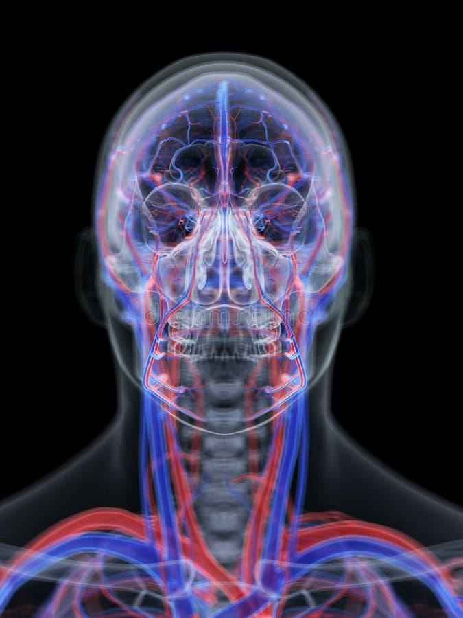 Det kärl- systemet av huvudet royaltyfri illustrationer