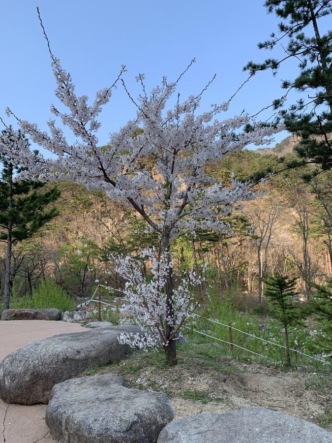 Det körsbärsröda trädet är fullt av fristående träd royaltyfria bilder