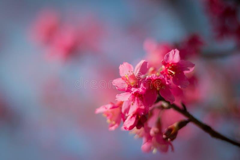 Det körsbärsröda trädet arkivfoto