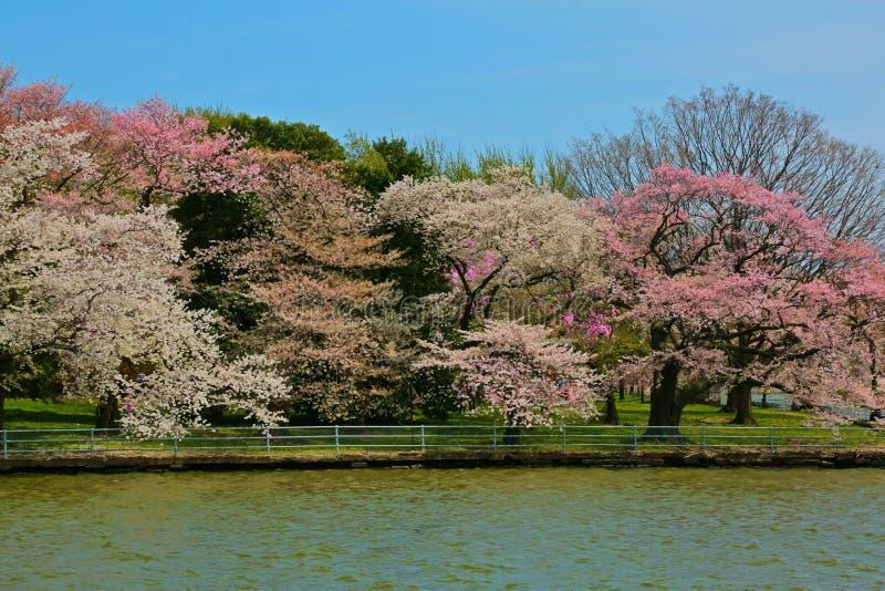 Det körsbärsröda trädet blomstrar Washington DC för tidvattens- handfat royaltyfri bild