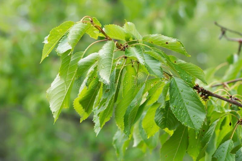 Det körsbärsröda trädet fattar med sidor arkivfoto