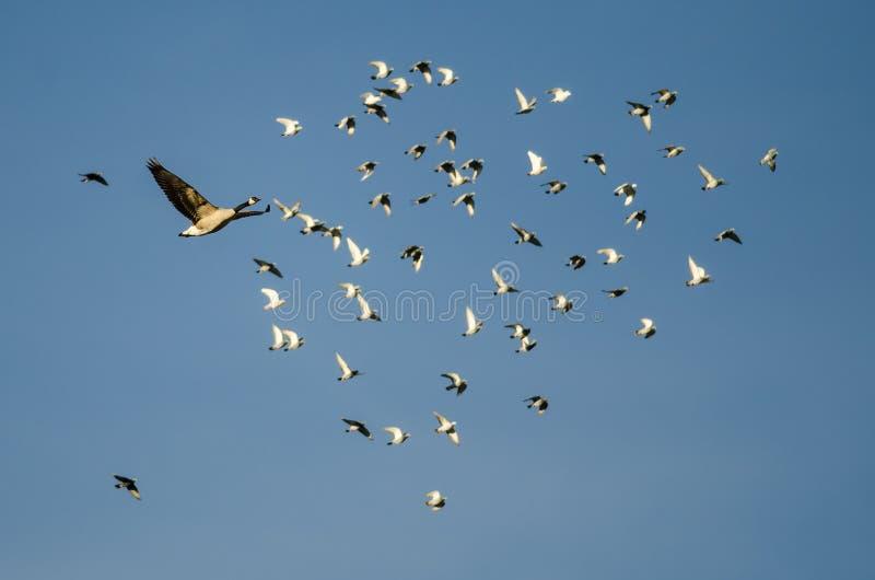 Det Kanada gåsflyget förbi en flock av vaggar duvor i en blå himmel arkivbilder