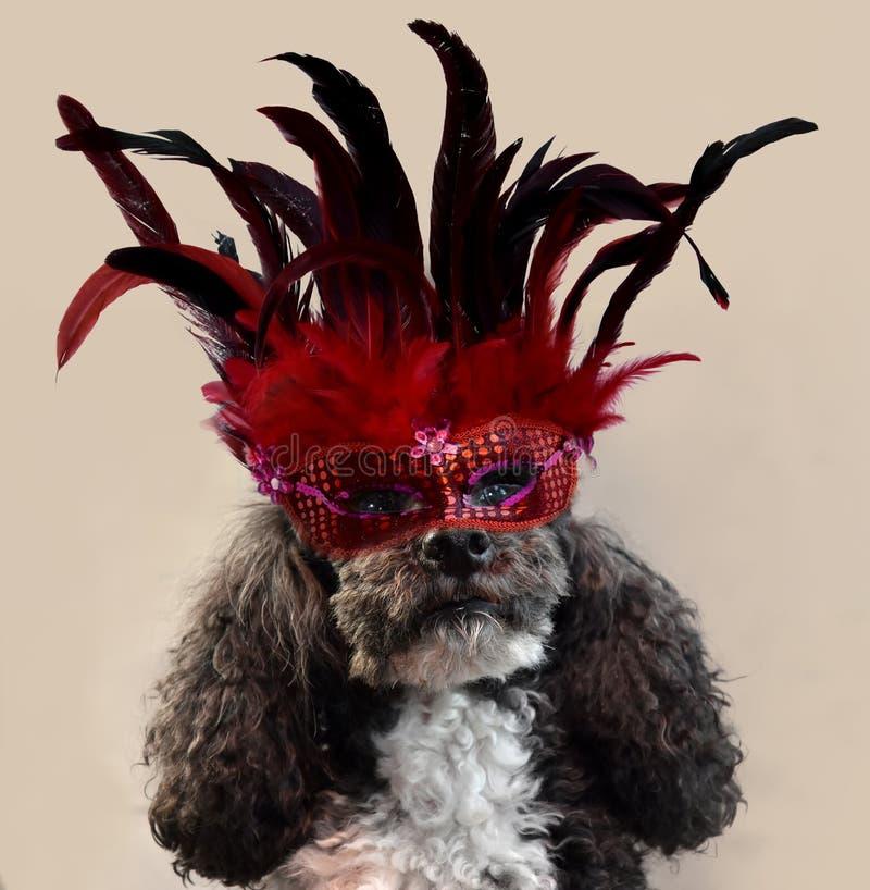 Det karneval för ` s, harlekinpudel som kostymeras med den röda fjädermaskeringen royaltyfri foto