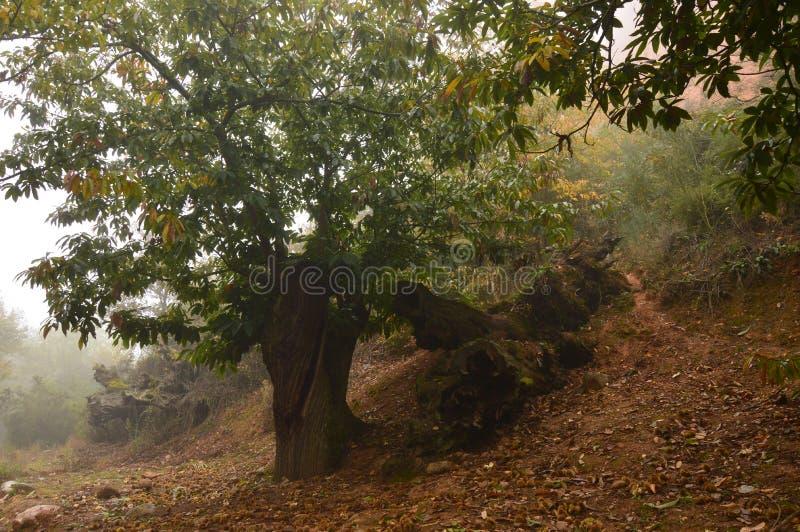 Det kastanjebruna trädet Forest With One Of Them torkar på jordningen som fylls med kastanjer på jordningen på en molnig dag i Me fotografering för bildbyråer