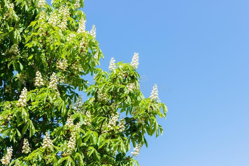 Det kastanjebruna trädet med att blomstra våren blommar mot blå himmel fotografering för bildbyråer