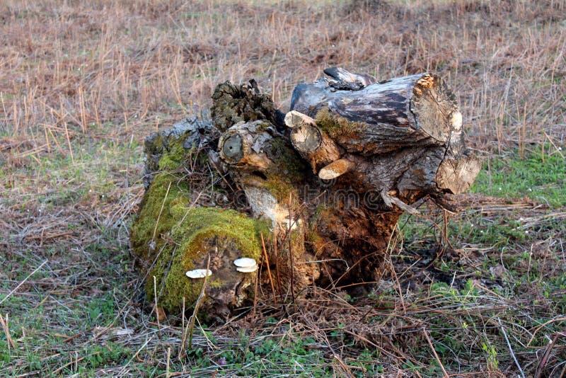 Det konstiga snittet ner och digged ut trädstubben med mossa och vita champinjoner på sidan som lämnades i mitt av fältet som omg royaltyfri foto