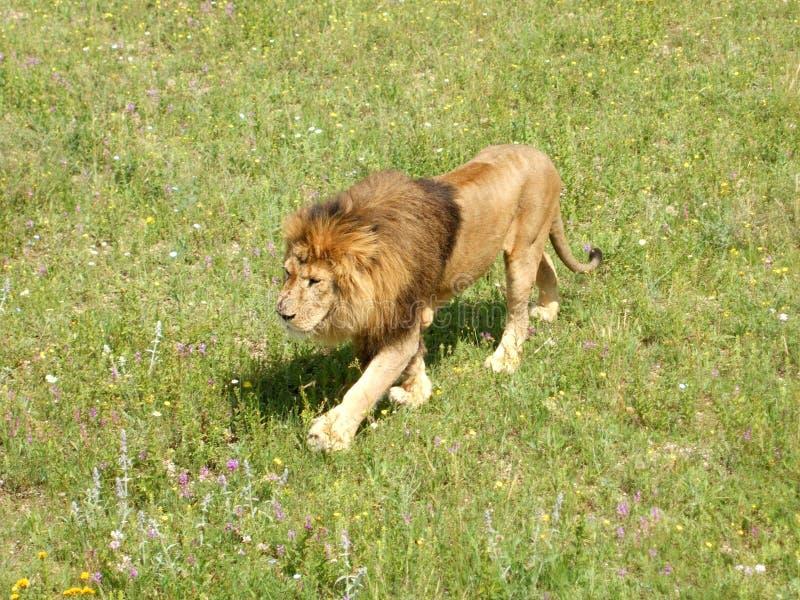 Det kringresande lösa lejonet royaltyfri foto