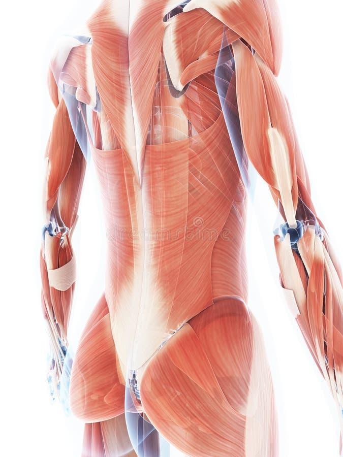 Det kvinnliga muskelsystemet stock illustrationer
