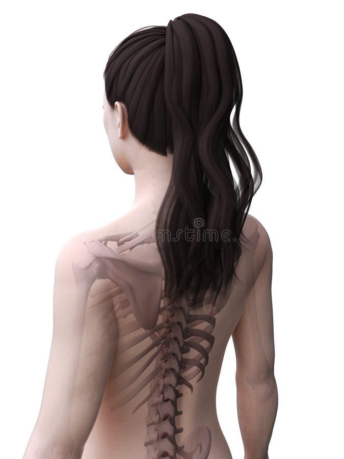 Det kvinnliga skelettet vektor illustrationer