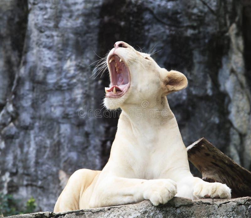 Det kvinnliga vita lejonet som ligger på, vaggar klippan och vrålar arkivfoton